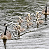 On a rainy day the best thing to do for these Canada geese is to take their clutch for a family swim in the waters of Shadyside Lake, instead of the usual single file formation, these parents have their goslings paired up except for the odd fowl in the rear.