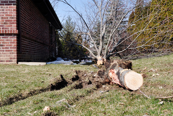 This tree was damaged along with five parked cars after an Anderson man stole and AFD ambulance and wrecked it.