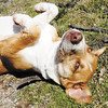 Darlene rolls over and waits for a belly scratch. She is a 5-year-old hound mix up for adoption at Anderson Animal Protection League. She needs a home with a fenced yard since she's been known to wonder.