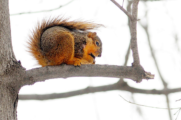"""A squirrel perches in a tree at Mounds State Park. D.I.N.O. (Do Indiana Off Road) will be hosting a 5k and 15k race at the park Saturday. You can find more information at their website  <a href=""""http://www.dinoseries.com"""">http://www.dinoseries.com</a>."""