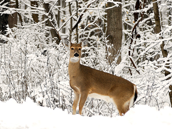 After a wet 5 inches of snow overnight covered every branch in Mounds State Park, this deer ventured out of the woods Wednesday morning to nature's serene scene.