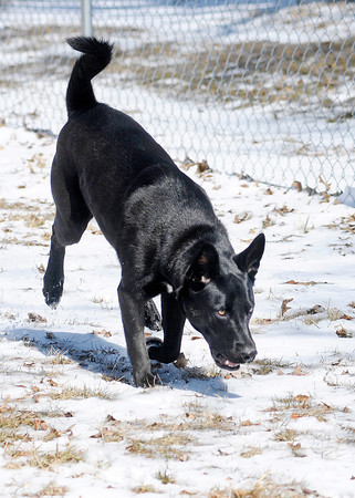 Don Knight / The Herald Bulletin<br /> Lucas sniffs around the Four Paws Dog Park behind the South Anderson Veterinary Clinic on 53rd Street in Anderson on Thursday. The park was opened as an alternative to dog owners on the South side of town that wanted something closer than the city's dog park.