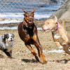 Don Knight / The Herald Bulletin<br /> From left, Hooligan, Kheiron and Jeffrie run and play at the Four Paws Dog Park behind the South Anderson Veterinary Clinic on 53rd Street in Anderson on Thursday. Neither of the Anderson's dog parks have any breed restrictions, but aggressive dogs are not allowed.