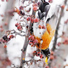 Don Knight / The Herald Bulletin<br /> A robins find some berries to eat on the Campus of Anderson University on Saturday after a fresh coating of a couple inches of snow fell.