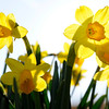 Don Knight | The Herald Bulletin<br /> Daffodils bloom in front of Park Place Church of God on Saturday.