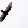 Don Knight | The Herald Bulletin<br /> A Turkey Vulture soars over Mounds State Park on Tuesday.