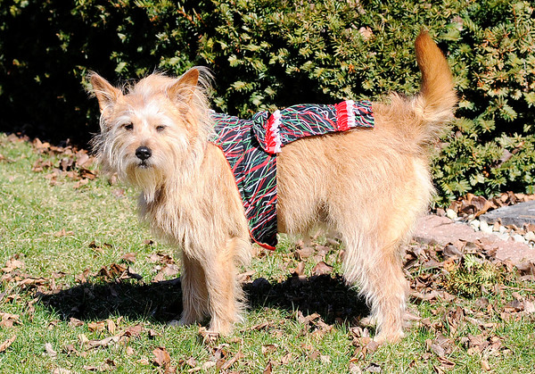 Don Knight | The Herald Bulletin<br /> Carol Rattler dresses her terrier mix Sophie and takes her to nursing homes to visit with residents.