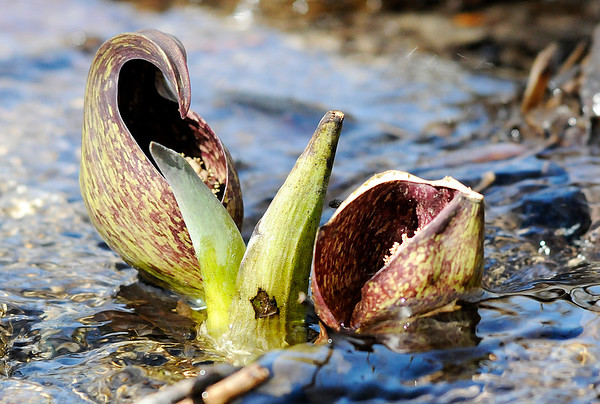 "Don Knight | The Herald Bulletin<br /> Skunk cabbage blooms at Mounds State Park on Wednesday. The park is holding a ""Signs of Spring Scavenger Hunt"" on Saturday. Stop at the nature center to pick up a scavenger hunt list before taking a hike and photographing three signs of spring. Bring your photos back to the nature center and show the naturalist for a prize."