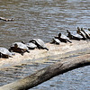 John P. Cleary | The Herald Bulletin<br /> Even though the temperatures were below the norm, the warm sunshine brought out these turtles, 21 in all, to sun themselves on this log in Shadyside Lake. Snow if forecast to return over the area Saturday.