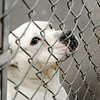 Don Knight | The Herald Bulletin<br /> Ethle May waits to be adopted during Super Saturday open house at the Animal Protection League on Saturday. Ethle May was adopted from APL but returned when she didn't get along with her new owner's other animals.