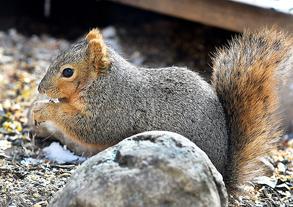 John P. Cleary   The Herald Bulletin<br /> As this squirrel scours the forest floor of Mounds State Park for food, it keeps it's back to the cold wind to protect it's self from the bitter cold temperatures that have settled into the area overnight to begin the first week of March.