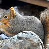 John P. Cleary | The Herald Bulletin<br /> As this squirrel scours the forest floor of Mounds State Park for food, it keeps it's back to the cold wind to protect it's self from the bitter cold temperatures that have settled into the area overnight to begin the first week of March.