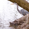 A great blue heron stalks the banks of the lake at Shadyside park on Saturday.