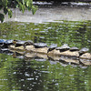 With the temperatures going up Tuesday these turtles found this log near the shore of Shadyside Lake a fine place to warm them-selves in the afternoon sun.
