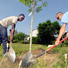 John P. Cleary | The Herald Bulletin<br /> City Parks Department workers Steven Perry and Ranny Hinton fill in around this Red Oak tree they just planted along the east side of Jackson Street Wednesday at the former Prime Battery property.