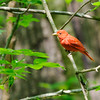 Don Knight | The Herald Bulletin<br /> A song bird perches on a tree in a ravine at Mounds Sate Park. Experts from the local Robert Cooper Audubon Society will be leading a bird walk in the park this Sunday starting at 9:30 a.m.