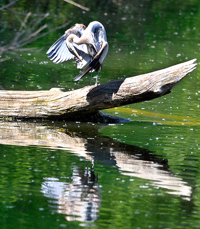John P. Cleary | The Herald Bulletin<br /> This blue heron takes advantage of the sunshine to perch on a log and groom itself in the afternoon warmth along the banks of Shadyside Lake.