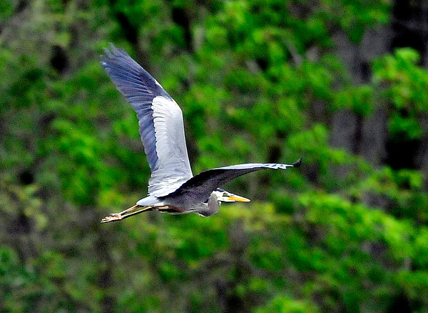 John P. Cleary |  The Herald Bulletin<br /> After being patient in the shallow waters this heron decided to take flight to seek better hunting ground.