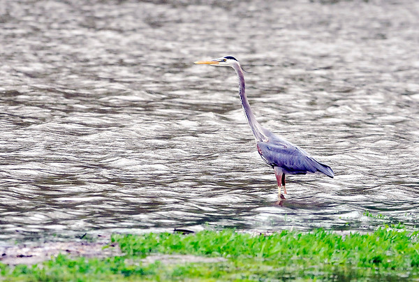 John P. Cleary |  The Herald Bulletin<br /> After the recent rains the water level at Shadyside Lake was reaching higher ground and this heron was using the new territory to try to catch something good to eat Monday afternoon.