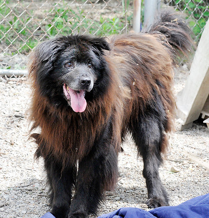 John P. Cleary   The Herald Bulletin<br /> This is Buck, who will turn 14 shortly, the surviving sibling of Fargo who just past away at the Madison County Humane Society. Both dogs have lived their entire lives at the shelter.