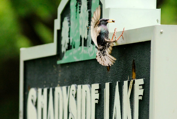 Don Knight   The Herald Bulletin<br /> A European Starling returns to its nest inside the Shadyside Lake Activity Center sign with a meal for its young on Tuesday.