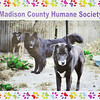 John P. Cleary | The Herald Bulletin<br /> This is a photo from the Madison County Humane Society facebook page that is seven years old showing Fargo in the middle with Maggie and Josie, who also has passed living their entire lives at the shelter.