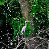 John P. Cleary | The Herald Bulletin<br /> As the cottony covering from the cottonwood trees fall like snowflakes, this blue heron keeps an sharp eye out for fish  along the shallow banks of Shadyside Lake Tuesday afternoon.