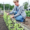 "John P. Cleary | The Herald Bulletin <br /> Growing Anderson non-profit community garden ""go-to person"" Lisa Singleton checks these bean plants in one of the 45 raised beds in the community garden."