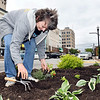 John P. Cleary | The Herald Bulletin <br /> Elaine Bronner plants flowers in the flower beds along Meridian Street at 11th Street Monday afternoon. KrM Architecture has adopted these plots to help beautify the downtown area.