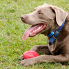 Don Knight | The Herald Bulletin<br /> Loki, a silver lab, takes a break from retrieving a foam football while at the Falls Bark Dog Park in Pendleton with owners Tina and Phil Braschear.