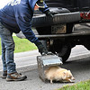 Ron Summers sets loose a rare albino raccoon near Mounds State Park Thursday that he had trapped on his property east of Anderson. Summers says this is the second all white raccoon he has caught in the last two weeks. A raccoon has a 1 in 10,000 chance of being born with albinism, but it's even more rare, a 1 in 750,000 change, of actually seeing one in the wild which is about your same odds of being struck by lightning.