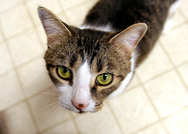 Holly has been at the Madison County Humane Society since her owner had to give her up due to foreclosure. She is declawed and fixed and has a sweet temperament.
