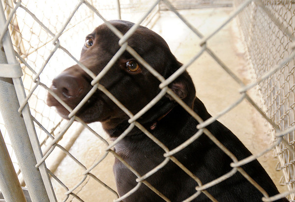 Brownie is a chocolate lab up for adoption at the Madison County Humane Society. Her owners had to give her up when they lost their home to foreclosure.