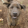 Bear is a shepherd chow mix up given up by his owners who could no longer care for him. He is up for adoption at Anderson Animal Protection League.
