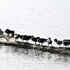 Don Knight | The Herald Bulletin<br /> Geese line up on a floating log at Shadyside on Thursday. The above average temperatures we've been enjoying are forecast to end this weekend with the arrival of a cold front.