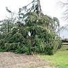 John P. Cleary |  The Herald Bulletin<br /> Strong storms moved through the northern part of Madison County Sunday causing damage along their path. Here a large healthy tree was toppled by the high winds along County Road 500 West just north of CR 1550 North east of Elwood.