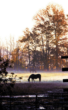 After the rains of yesterday early morning fog formed over the moist fields as these horses graze in the raising sun.