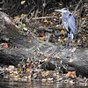 This blue heron has its wings wrapped around its body to help protect its self from the strong winds blowing down White River Monday afternoon.