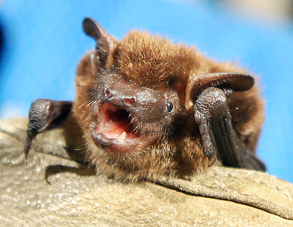 John P. Cleary | The Herald Bulletin<br /> This is Chocolate one of the Big Brown Bats at Tim Carter's bat laboratory at Ball State University.