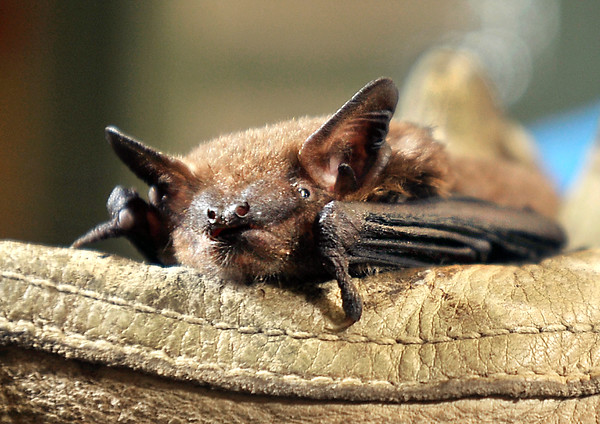 John P. Cleary | The Herald Bulletin<br /> Tim Carter and his Ball State University bat laboratory.