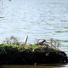 Don Knight | The Herald Bulletin<br /> A blue heron is perched on an island in the lake at Shadyside on Thursday. A cool down is in the forecast for the weekend.