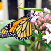 "John P. Cleary |  The Herald Bulletin<br /> Nancy Zimmerman wrote a new children's book called ""Sadie Meets a Monarch."" This is one of the Monarchs found in Zimmerman's backyard garden."
