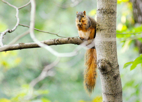 Don Knight | The Herald Bulletin A squirrel perches in a tree at Mounds State Park while nibbling on an acorn on Thursday.