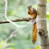Don Knight | The Herald Bulletin<br /> A squirrel perches in a tree at Mounds State Park while nibbling on an acorn on Thursday.