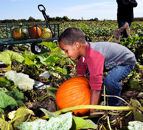John P. Cleary | The Herald Bulletin<br /> Trenten Ancil, 4, finds his perfect pumpkin at the Smith Family Farms pumpkin patch in Pendleton during their opening weekend for the fall season.