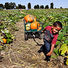 John P. Cleary | The Herald Bulletin<br /> Trenten Ancil, 4, pulls the wagon full of family pumpkins through Smith Family Farms pumpkin patch Saturday during the opening weekend of the farm kicking off the fall season.
