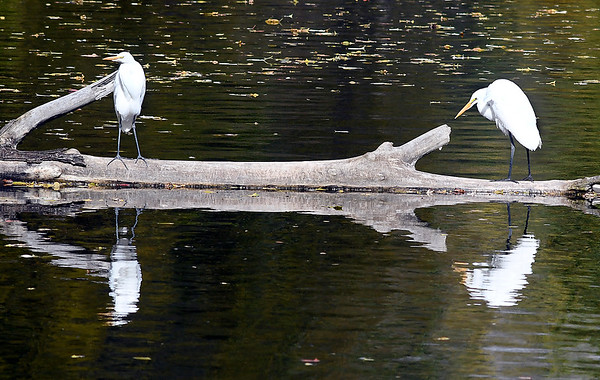 This pair of herons share the same log as they roost along the bank of Shadyside Lake.