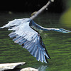 This blue heron takes flight from the south end of Shadyside Lake to find better hunting ground for fish on the north end of the lake Monday afternoon.