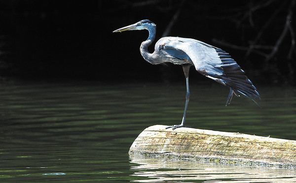 This blue heron patiently waits on a log for any signs of fish at Shadyside Lake Monday afternoon.