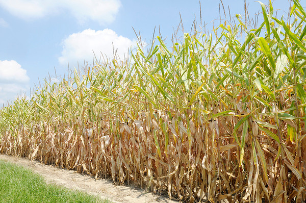 Don Knight/The Herald Bulletin<br /> Corn along County Road 400W is beginning to turn yellow and dry out. After a cool wet start to the weather a string of hot dry weather is threatening this year's yield.